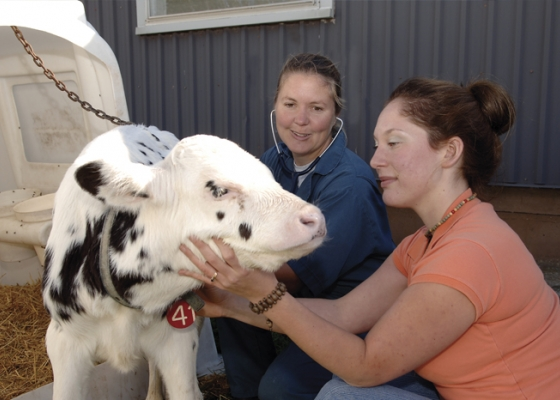 Two female veterinarians and a young dairy calf